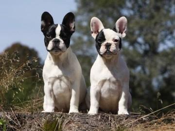 Il melograno_Bulldog Francese