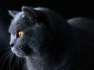 Il melograno_British Shorthair001c